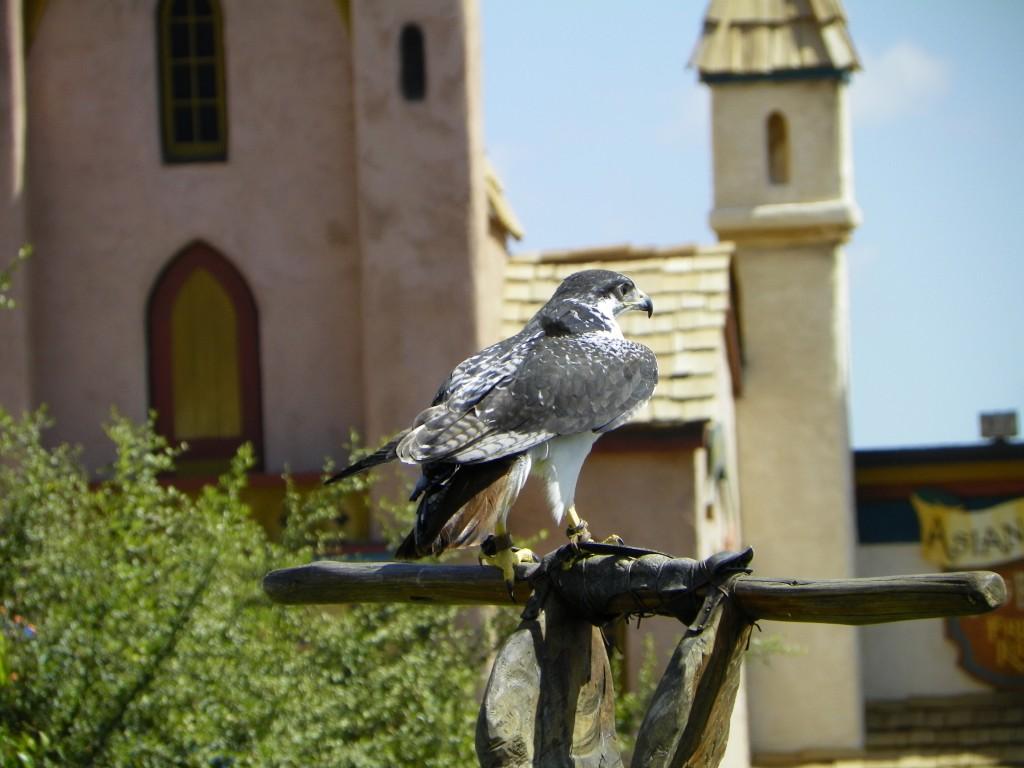 Falcon Watching